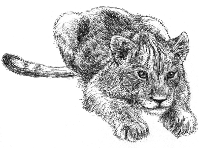 how to draw a lion cub
