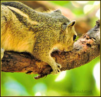 indian squirrel by iintimidating