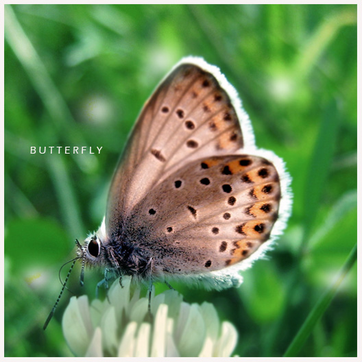 Leptiri Butterfly_by_ironicna