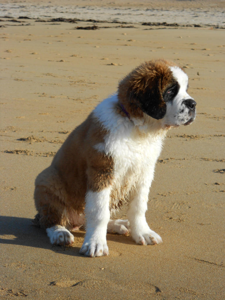 saint bernard personals Saint bernard puppies checks - the saint bernard has historically been one of the most important dogs in the world originally from the italian and swiss alps, he.