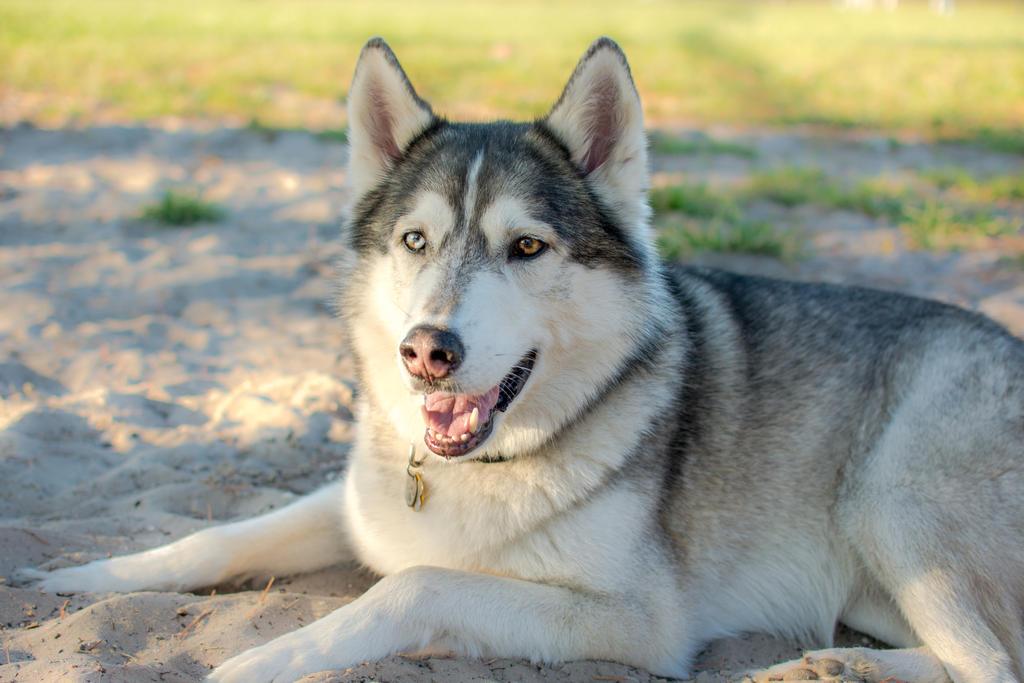 Husky timber wolf puppies - photo#13