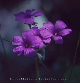 Purple Flowers. by KissofCrimson