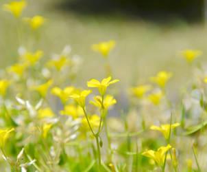 Yellow Flowers by KissofCrimson