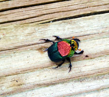 Metallic Colored Dung Beetle III