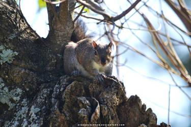 Squirrel by KissofCrimson