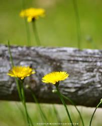 Dandelions by KissofCrimson