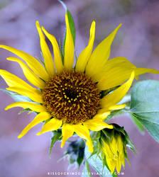 Sunflower by KissofCrimson