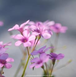 Small Pink Flowers by KissofCrimson