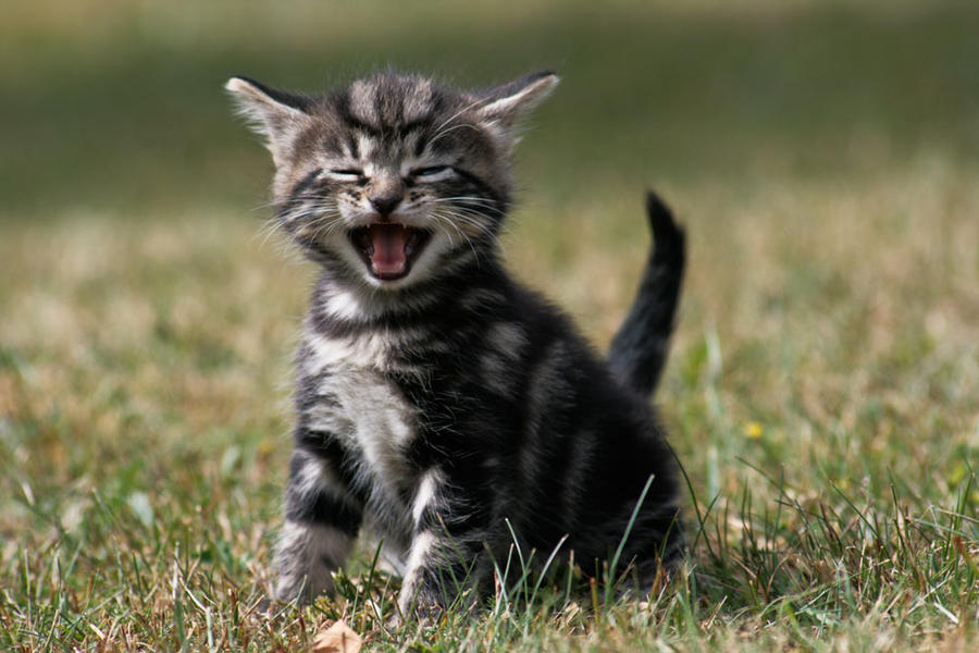 A Humorous Cat by Escondido