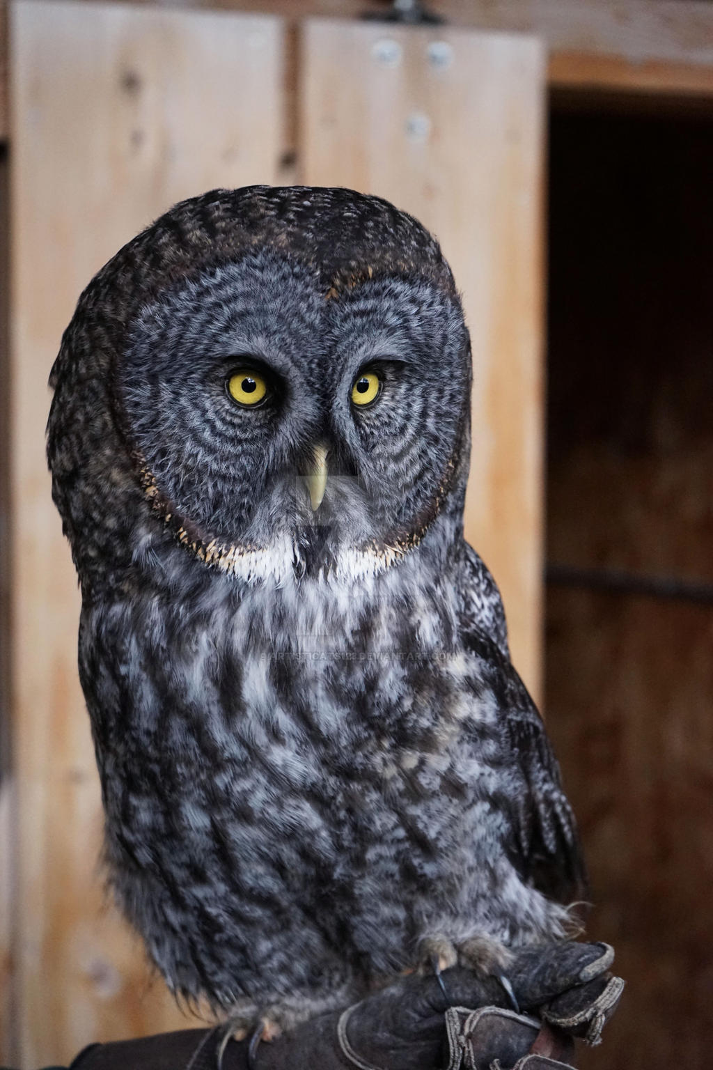 Great Grey Owl by Artisticats123