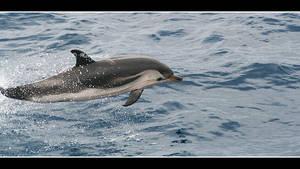 dolphin IV
