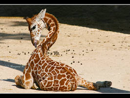 baby giraffe by moem-photography