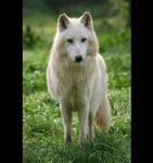 White wolf I
