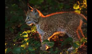 Lynx IV
