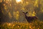Proud red deer IV