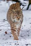 Lynx VIII