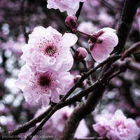 Spring Blossom 2 by unknownaspiration