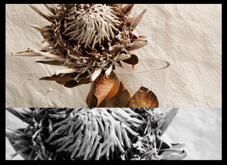 Protea by carlafernanda