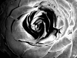 True colours of a rose