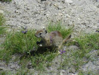 Yosemite Squirrel by nimpo