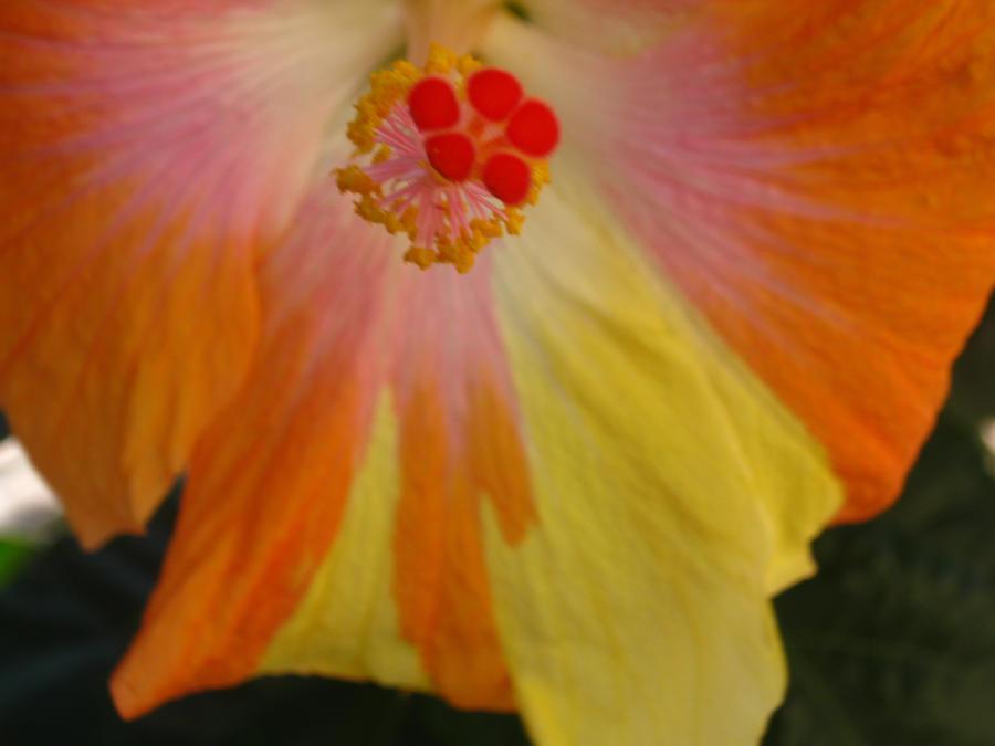 Sunset Hibiscus