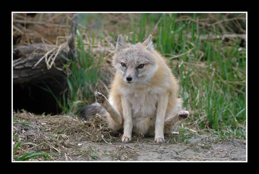 Ah Fox