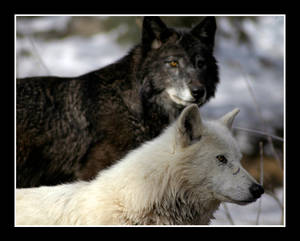 More Wolves