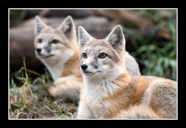 Pretty Foxes by RadicallyCanadian