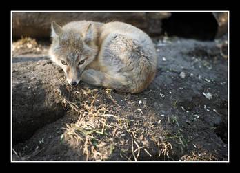 Glaring Swift Fox by RadicallyCanadian