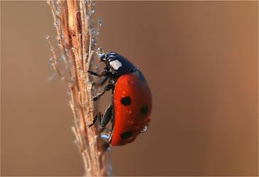 Ladybird in rain by macro-art
