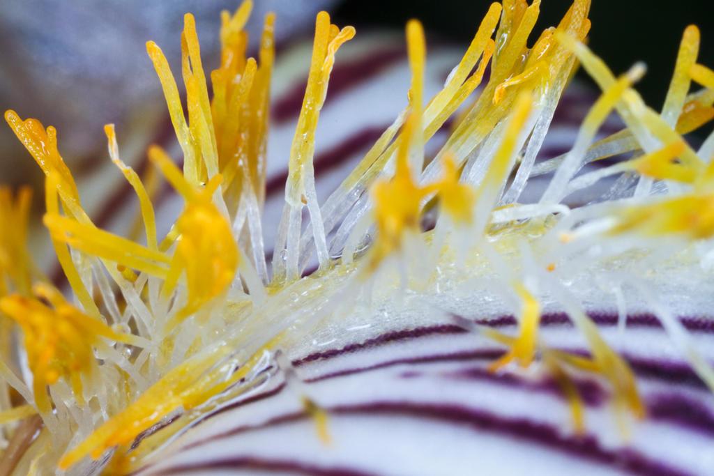 Bearded iris macro by zantri