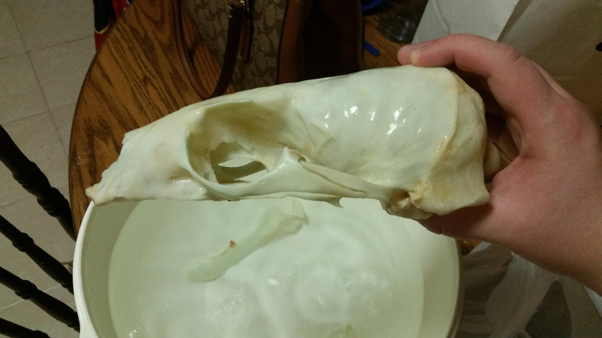 California Sea Lion Skull Update by Gesp56