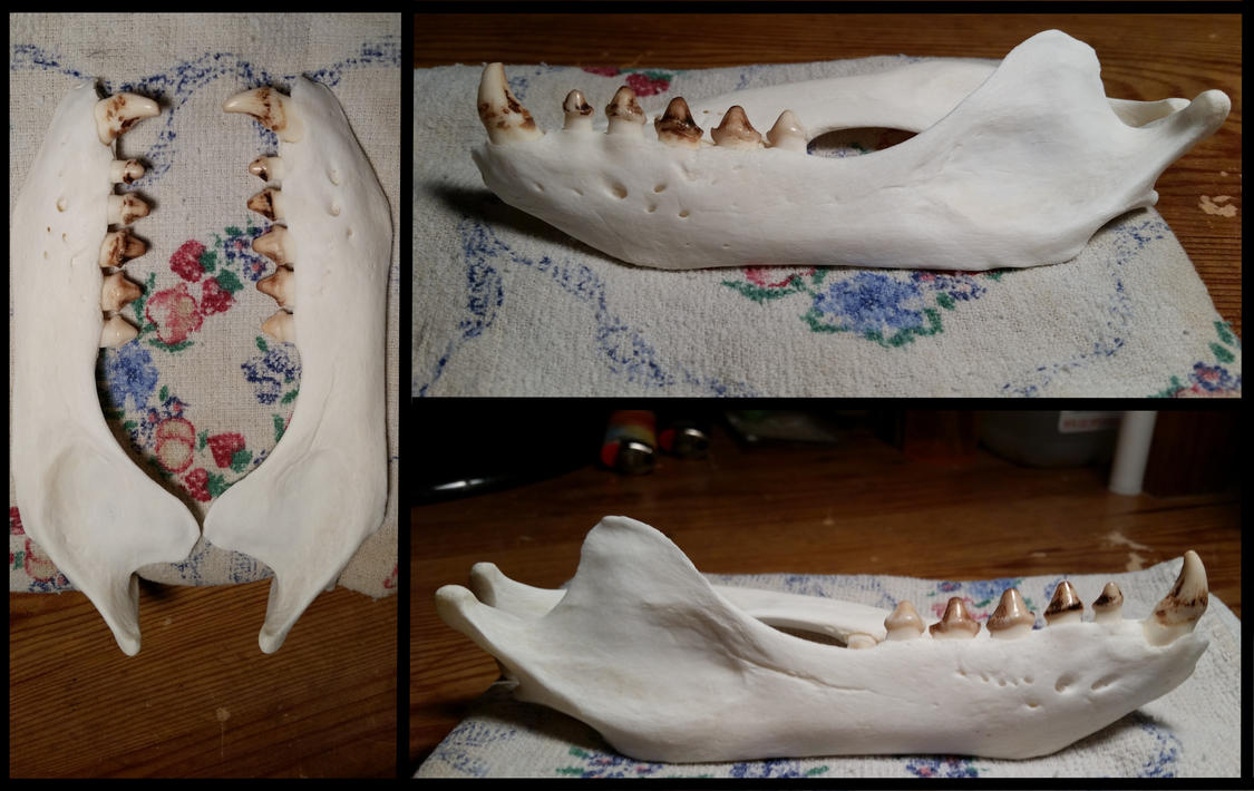 California Sea Lion Jaw by Gesp56