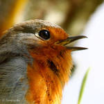 Another robin zoom xD