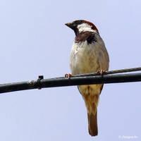 Sparrow by Jorapache