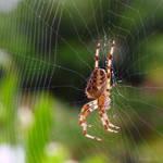 Striped legged spider by Jorapache