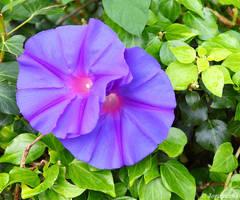 Blue morning glory by Jorapache