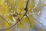 Chiffchaff on a branch