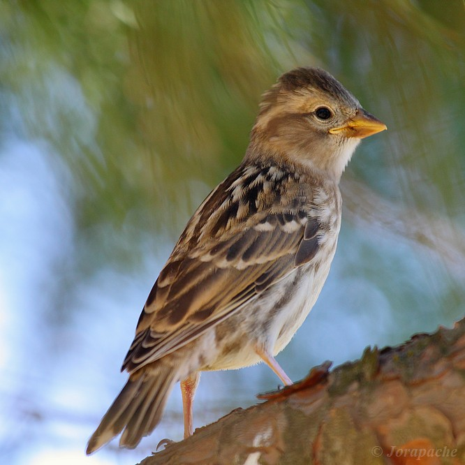 Young rock sparrow by Jorapache