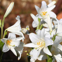 Some white flowers by Jorapache