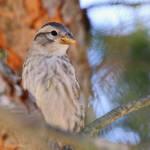 Rock sparrow portrait