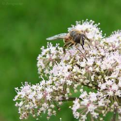 Kind of bee on white flower by Jorapache