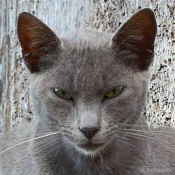 Grey cat face by Jorapache