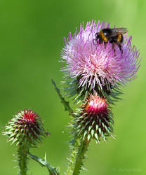Bumblebee on a thistle flower by Jorapache
