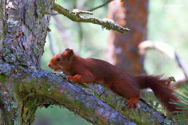 Red squirrel on a branch by Jorapache