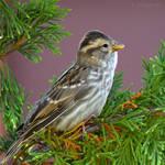 Punk rock sparrow