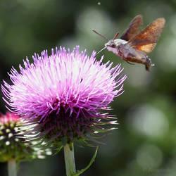 Hummingbird hawk moth by Jorapache
