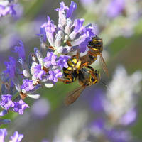 Couple of wasps on lavender