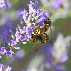 Couple of wasps on lavender by Jorapache