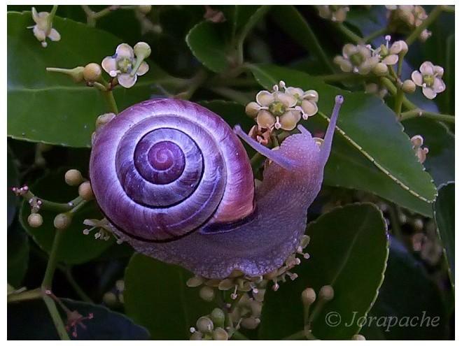 Purple snail